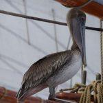Waehrend dem Bio-Test - besuch vom Pelikan