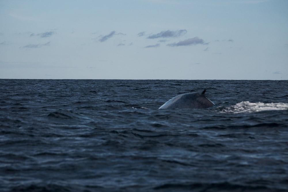 Der Blauwal lässt sich blicken!