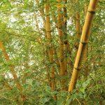 Ganz viel Bambus