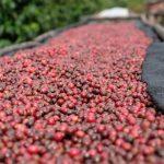 Trocknen der Kaffeekirschen