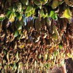 Tabakblätter im Trockenhaus