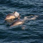Erneut Delfine - die Thor zieht diese magisch an