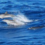 Delfine begleiten die Thor