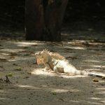 Auch der Leguan genießt die Sonne